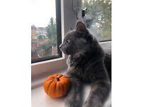 Russian blue boy kitten