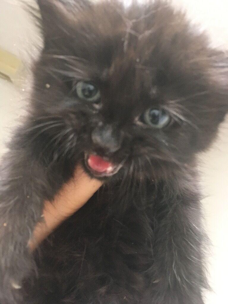 Male fluffy kitten for sale ðŸ˜
