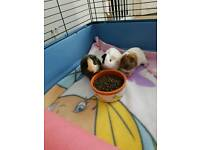 3 male guinea pigs and cage