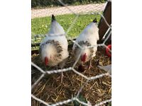 White Sussex Cockerels,fancy birds very friendly and make good pets!