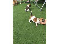 Jack Russell / jugs puppies