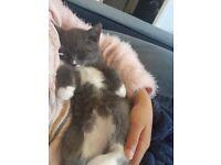 3 kittens for sale Grey , white & black , ginger & black