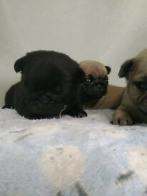 Beatiful pug puppies available for reservation.