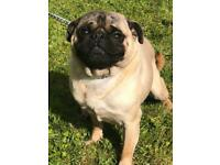 Beautiful pug boy for sale
