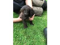 Spaniel x Visla puppys