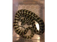 Juvenile Carpet Python Snake J