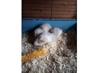 Guinea pigs babies for sale (boys)