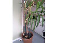 Mature Yucca Plant