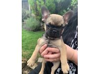 1 x Frug male puppie available now