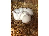 Pure White Mini Lop Bunnies For Sale