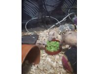 Young female Spiny mice and setup