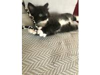 Beautiful Tuxedo Black Kitten (Female)