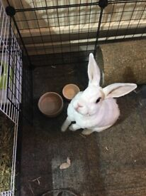 Friendly Rex House Rabbit + Cage, Run, and Accessories