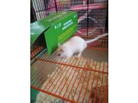 x2 male gerbils for sale