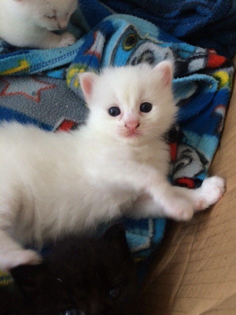 a4e616f620 Turkish van x kittens. Lancing