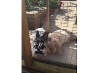 2 rabbits for sale with large hut and run 2 females b