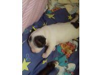 Staffie cross staffie boxer bull mastiff male puppy