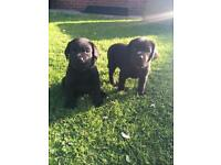 Pedigree Labrador puppy's