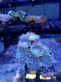 Corals and live rocks or dry rocks for sale