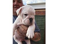 4 stunning male bulldog pups for sale all kc reg and great bloodlines