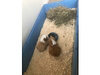 2 Ginger Guineapigs and Cage