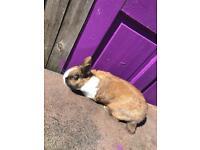 Rabbits netherland dwarfs