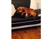 5 mastiff cross puppies £400