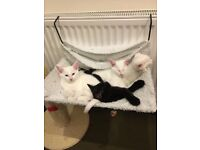 Two beautiful white kittens still for sale!