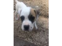 American Bulldog Male 3 Months Old