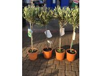 Standard olive trees, approx 110 cm tall, £20 each