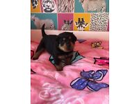 Rottweiler Puppies, chunky female pups