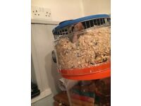Female hamster for sale