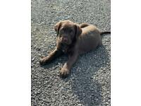 Presa canario Mastiff Cross Standard poodle 🐩 puppies