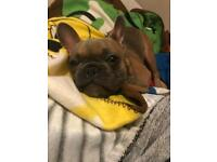 Male French bulldog *genuine reason for sale*REDUCED