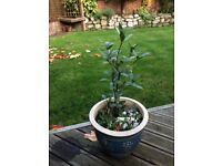 Bay Tree in Lovely Ceramic Pot - use leaves in cooking