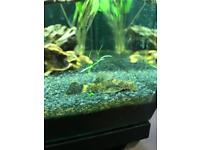 Red & black bristlnose LD186 catfish PAIR