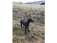 Deerhound Bedlington gray hound lurcher