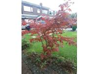 Acer plant/tree