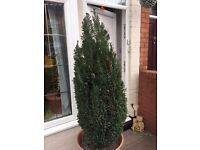 LARGE POTTED CONIFER PLANT