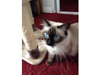 ragdoll cat with active papers