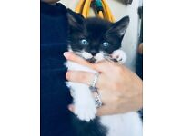 Beautiful temperment kittens! Ready next week.. litter trained, wormed,vet checked. £50each 3M 1F