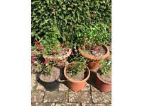 Garden Plants: Salvia Hot Lips. Collect Fulham