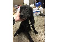 8 month black Labrador X
