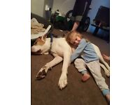 American bulldog 6 years old hpuse trained family dog