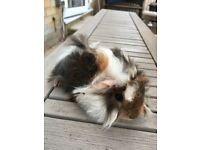 Long haired male guinea pigs.