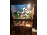 2 frilled dragons and full setup need rehoming asap make offers