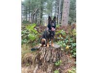 Top German shepherd pups