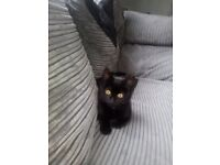Kitten free to good home has food litter and a litter tray and bed needs a forever home asap
