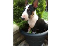 KC registered English Bull Terrier Bitch