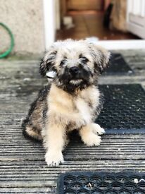 13 week old Kashon for sale Teddy Bear Puppy